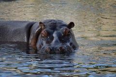 Eu estou prestando-lhe atenção Esteja assim ciente do hipopótamo foto de stock royalty free