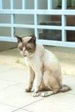 Eu sou cortina que eu sou dano, gato Fotografia de Stock