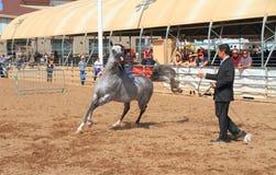 EUA, AZ: Mostra árabe do cavalo - aquecimento Imagem de Stock Royalty Free