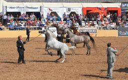 EUA, AZ: Mostra árabe do cavalo - encontrando o vencedor Imagem de Stock Royalty Free