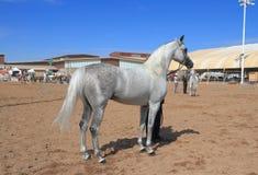 EUA, AZ: Mostra árabe do cavalo - vencedor Imagens de Stock