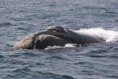 Eubalaena australis del cetaceo della balena Fotografia Stock Libera da Diritti