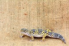 Eublepharis against burlap background. Close-up of Cute leopard gecko eublepharis macularius Royalty Free Stock Photos