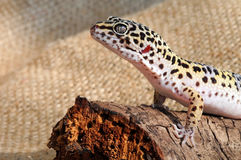 Eublepharis. Close-up of Cute leopard gecko Stock Images