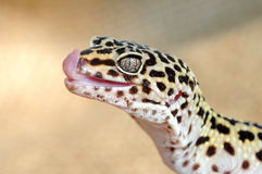 Eublepharis. Close-up of Cute leopard gecko Royalty Free Stock Image