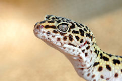 Eublepharis. Close-up of Cute leopard gecko Royalty Free Stock Photo