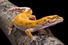Eublepharis macularius zdjęcie royalty free