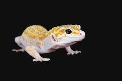 eublepharis macularius 库存照片