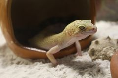 Eublepharis macularius. Leopard Gecko Royalty Free Stock Images
