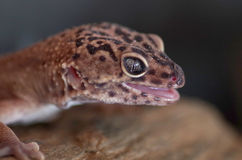 Eublepharis macularius. Night gecko pwith open mouth ortrait Royalty Free Stock Photography