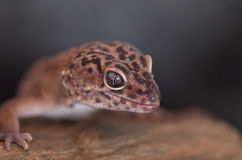 Eublepharis macularius. A portrait of a gecko Stock Photos