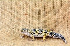 Eublepharis przeciw burlap tłu Zakończenie Śliczny lamparta gekonu eublepharis macularius zdjęcia royalty free