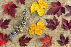 Eublepharis vor dem hintergrund der Leinwand und der gefallenen Blätter Nahaufnahme netten Leopardgecko eublepharis macularius Stockbilder