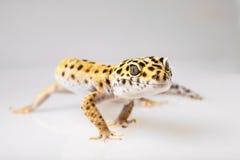 Eublifar, Leopard Gecko Lizenzfreies Stockfoto