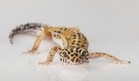 Eublifar, Leopard Gecko Stockbilder