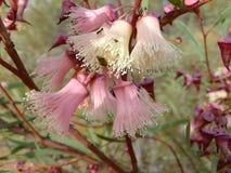 Euc rosacea colour var Stock Images