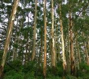 eucalipto Árboles Fondo del bosque Bosque grueso Foto de archivo libre de regalías