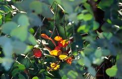 Eucalipto 1 Foto de Stock