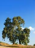 Eucalipto Foto de archivo libre de regalías
