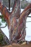 eucalipto Imagen de archivo