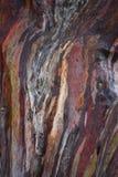 eucalipto Fotos de archivo