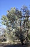 Eucalipto branco australiano de Mallee Fotos de Stock