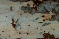Eucalipto de la piel Imagen de archivo libre de regalías