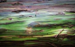 Eucalipto del arco iris Fotografía de archivo libre de regalías