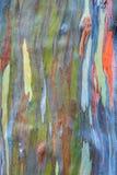 Eucalipto do arco-íris Imagem de Stock Royalty Free