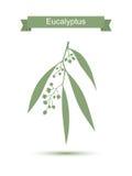 eucalipto En el fondo blanco Foto de archivo libre de regalías