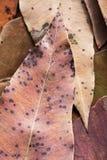 Eucalipto muerto de las hojas Fotos de archivo libres de regalías