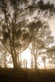 Eucalipto na névoa imagem de stock royalty free