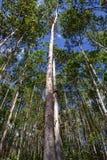 Eucaliptos Royaltyfria Bilder