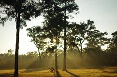 Eucaliptos en el sol Foto de archivo libre de regalías