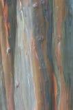 eucaliptus结构树 免版税库存照片