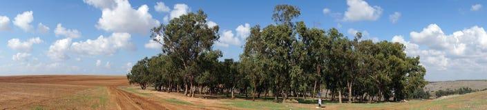 Eucaliptus Royalty Free Stock Photo