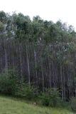 Eucaliptus plantation Stock Images