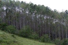 Eucaliptus plantation Royalty Free Stock Photo