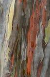 Eucaliptus texturträd Fotografering för Bildbyråer