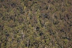 Eucaliptus träd som beskådas från över Fotografering för Bildbyråer