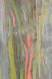 Eucaliptus trädtextur Arkivfoton