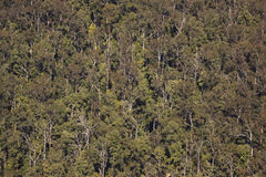 Eucaliptus Trees viewed from above Stock Image