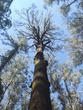 eucaliptus 100-years-old Baum in Australien Stockbild