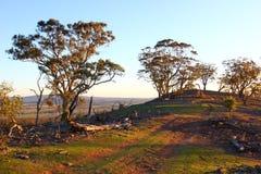 Eucaluptus-Bäume Ende des Abends Sun lizenzfreies stockfoto