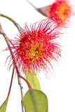 Eucalypt flowers. Flowering Gum tree Australia... isolated on white background royalty free stock image