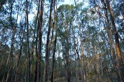 Eucalypt forest in Queensland Australia Stock Image
