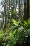 Eucalypt forest2 Stock Image
