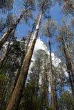 Eucalypt forest3 Fotografie Stock