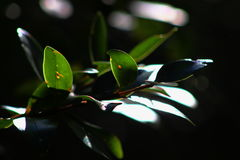 Eucalypt leaf in detail. Detail of eucalypt leaf on a tree in New Zealand Stock Photos
