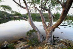 Eucalypt Over the Lake Stock Image